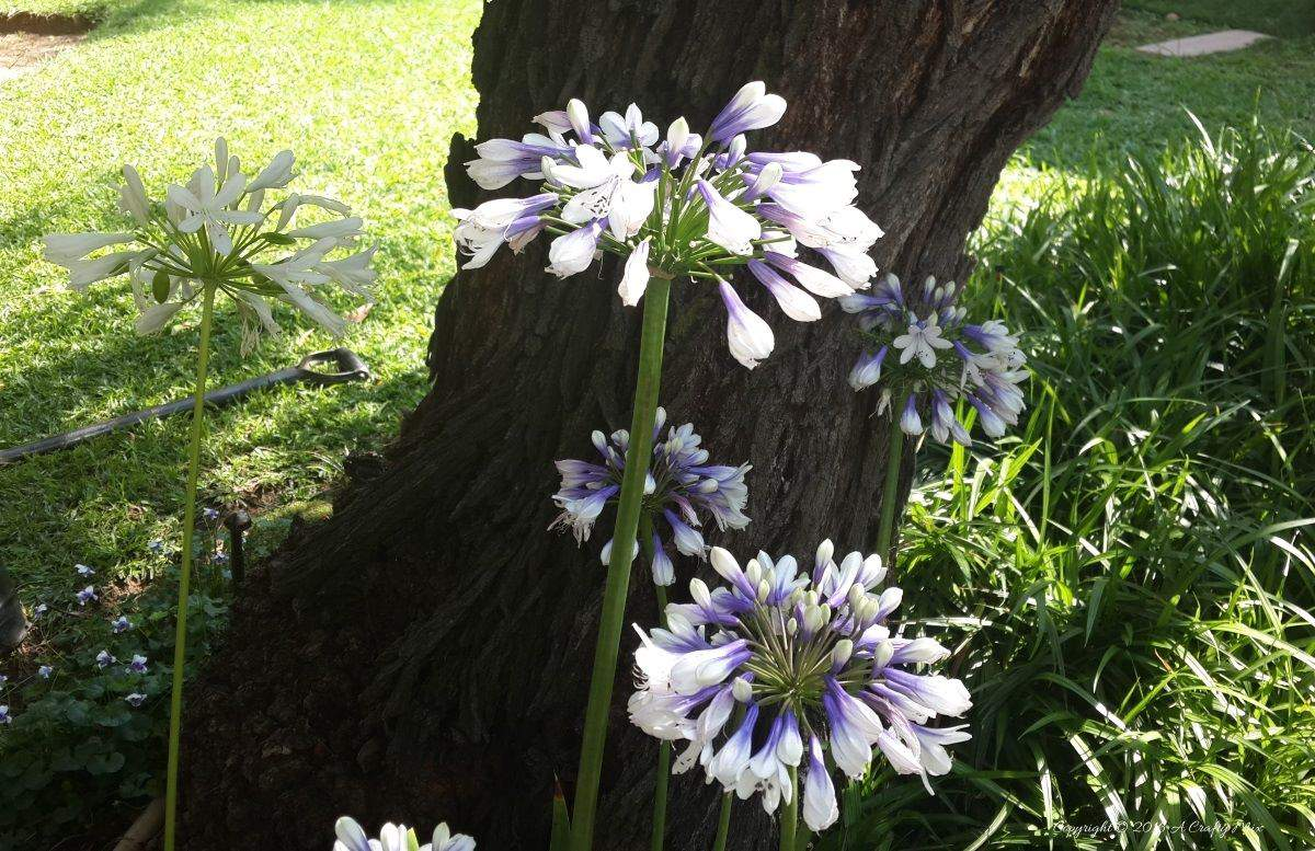 Agapanthus hybrid with mixed white and purple flowers