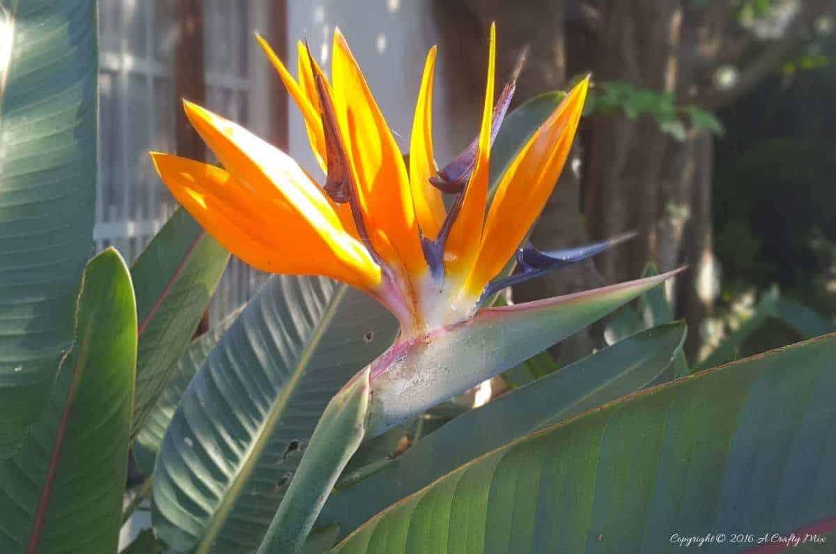 Bird of Paradise or Strelitzia reginae