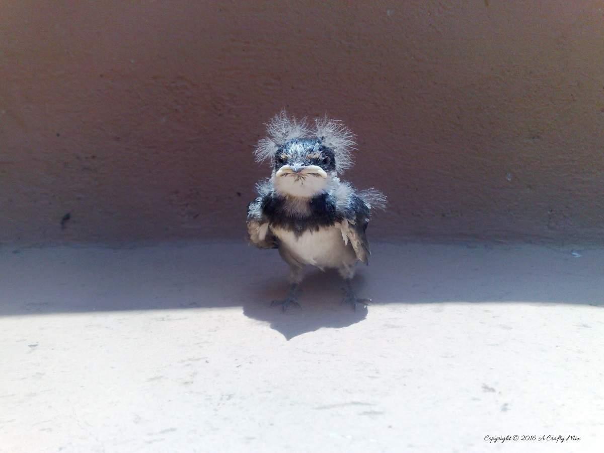 Meet spikey the baby swallow