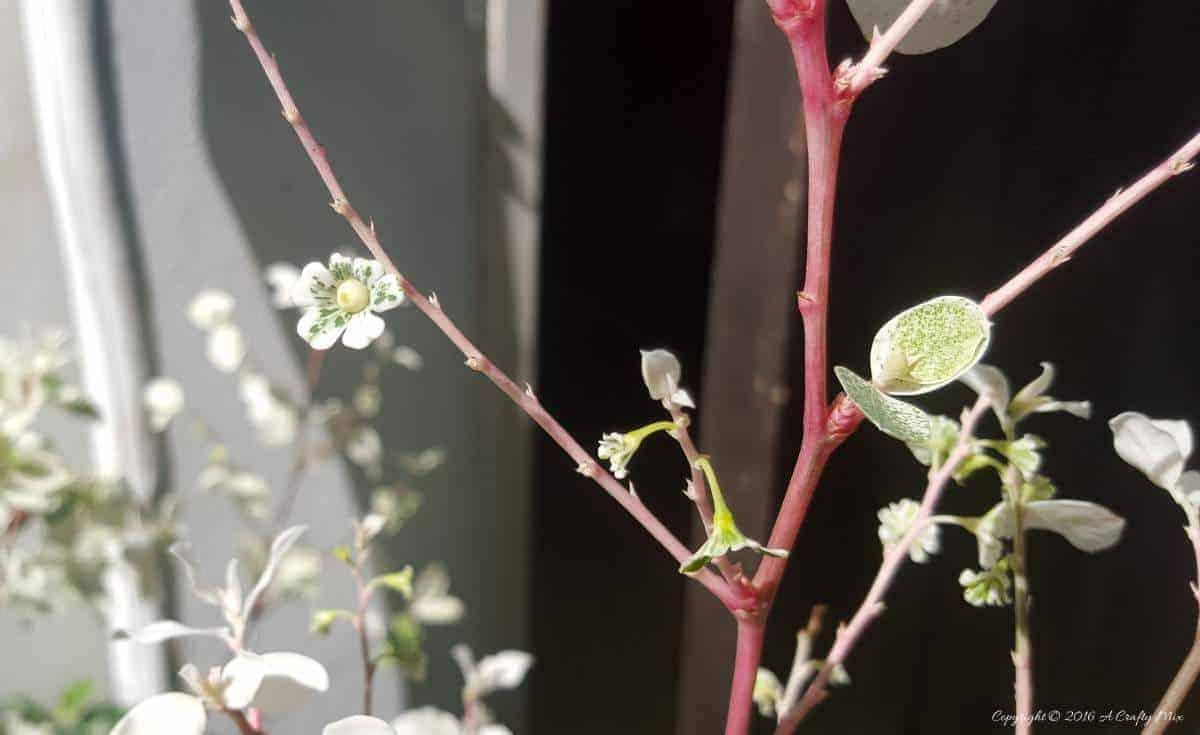 Teeny tiny Iceream Bush flowers