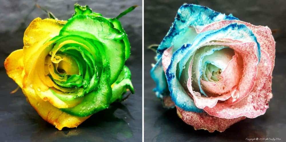 This gorgeous two toned rose makes a beautiful gift and will look lovely in a home. See how to make your own with this easy tutorial. #DIYHomeDecor #DyingRoses #TheGiftOfFlowers