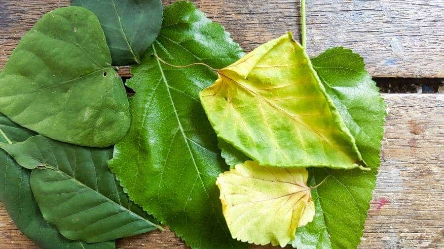 A collection of leaves used to make the bowls #FairyBowls #FairyDIYCrafts #ACraftyMix #FairyGardens #FairyCRafts #WhimsicalFairyCrafts #SimpleFairyCrafts