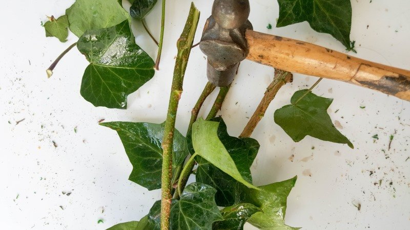 Prep the ivy by hammering the ends and place in a bucket of water over night .