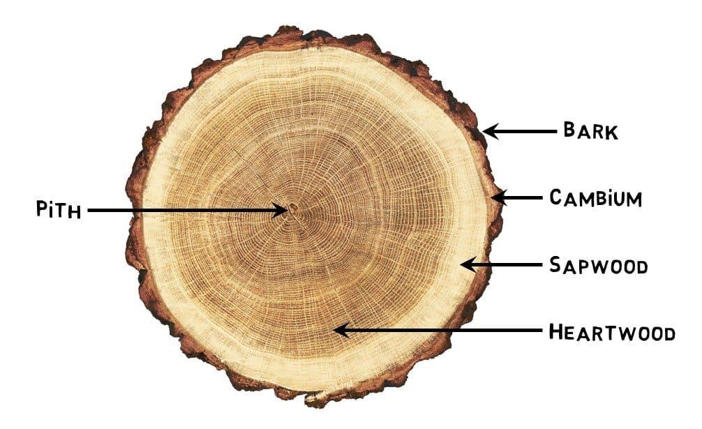 Why a tree stump cracks