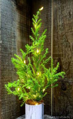5 Minute Real Miniature Christmas Tree With Lights